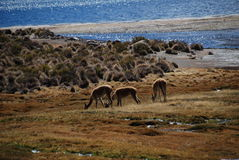 vicugnas in Lauca national Park Royalty Free Stock Photo