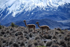 Vicugnas in Lauca national Park. Vicuñas in Lauca national park of Chile Royalty Free Stock Photos