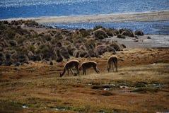 vicugnas in nationaal Park Lauca Royalty-vrije Stock Foto