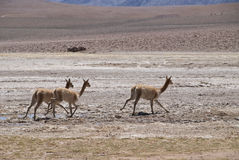Vicuna Stock Images