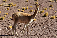 Vicuna Royalty Free Stock Photography