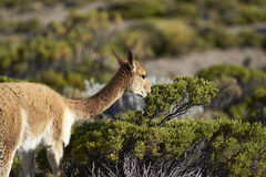 Vicuna on the Altiplano, Chile Stock Image