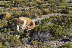 Vicuna on the Altiplano, Chile Royalty Free Stock Image