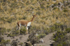 Vicuna on the Altiplano, Chile Stock Photos