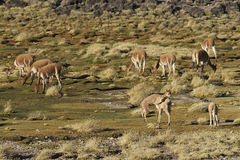 Vicuna on the Altiplano, Chile Stock Images