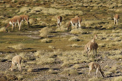 Vicuna on the Altiplano, Chile Royalty Free Stock Photo