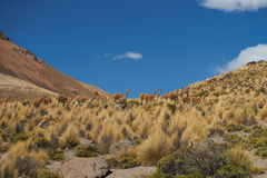 Vicuna in the Altiplano Stock Photography