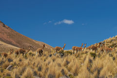 Vicuna on the Altiplano Stock Photography
