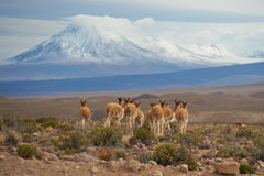Vicuna on the Altiplano Royalty Free Stock Images