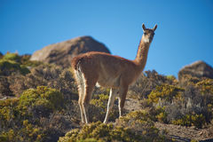 Vicuna in the Altiplano Royalty Free Stock Photos