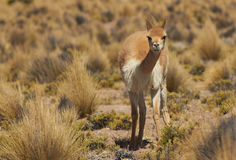 Vicuna in the Altiplano Royalty Free Stock Image