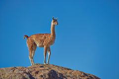 Guanaco in the Altiplano Stock Images
