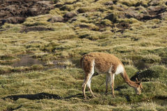 Vicuna on the Altiplano of northern Chile Stock Photography
