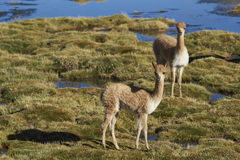 Vicuna on the Altiplano of northern Chile Royalty Free Stock Photos