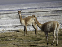 Vicuna ancestor of the lama and alpaca wild animal Stock Image