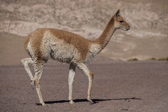 Vicuna in the Andes Royalty Free Stock Photography