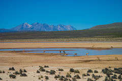 Vicuna in the Andes drinking Royalty Free Stock Image