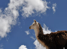 Vicuna on Andes Stock Image