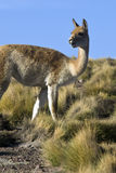 Vicuna - Chile. A Vicuna in the Atacama Desert in Northern Chile Stock Photo