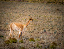 Vicuna in Chile Royalty Free Stock Image