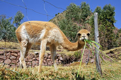 Vicuna eating grass Royalty Free Stock Images