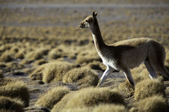Vicuna encestor of the lama and alpaca Royalty Free Stock Photography