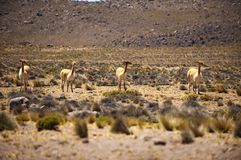 Vicuna family Royalty Free Stock Image