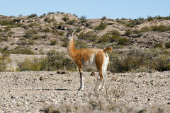 Free Vicuna - Ischigualasto Provincial Park - Argentina Royalty Free Stock Image - 91746316