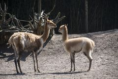 Vicuna mother with child. Vicuna is one of the two wild animals in the camel family in Peru, South America.  stock photos