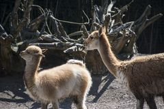 Vicuna mother with child. Vicuna is one of the two wild animals in the camel family in Peru, South America.  stock image
