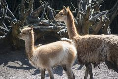 Vicuna mother with child. Vicuna is one of the two wild animals in the camel family in Peru, South America.  stock images