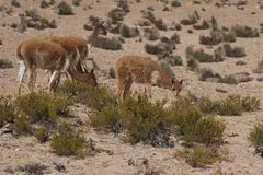 Vicuna na Altiplano w Lauca parku narodowym, Chile fotografia royalty free