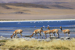 Vicuna in nature Stock Images