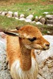 The vicuna Royalty Free Stock Photography
