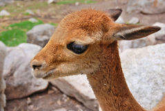 The vicuna Royalty Free Stock Photos