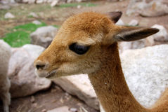 The vicuna Stock Images