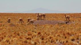 Vicuna op een kleine heuvel in de Pampa stock footage