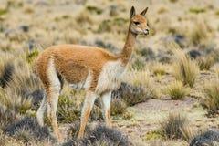 Vicuna in the peruvian Andes Arequipa Peru. Vicuna in the peruvian Andes at Arequipa Peru royalty free stock image