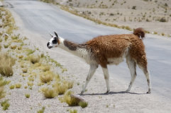 Vicuna Royalty Free Stock Image