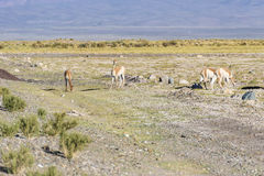 Vicuna in Salinas Grandes in Jujuy, Argentina. Royalty Free Stock Photo