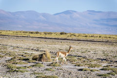 Vicuna in Salinas Grandes in Jujuy, Argentina. Royalty Free Stock Photography