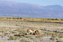 Vicuna in Salinas Grandes in Jujuy, Argentina. Stock Photography