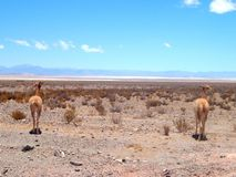 Vicuna in the Salta Argentina steppe. Vicuna in the vicinity of large salinas, Salta, Northern Argentina, South America Royalty Free Stock Photo