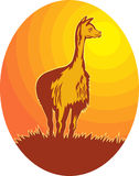 Vicuna standing with sun Stock Photography