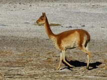 Vicuna. Typical south american wild cameloid Stock Image