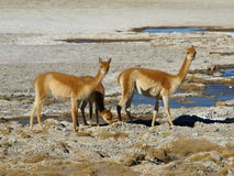 Vicuna Royalty Free Stock Photo