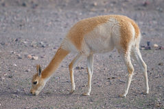 Vicuna (Vicgna vicugna) Camelid from South Ameri Royalty Free Stock Image