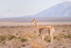 Vicuna (Vicgna vicugna) Camelid from South Ameri Stock Photos