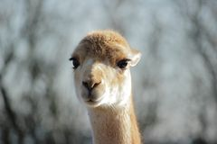 Vicuna (Vicugna vicugna) Stock Photo