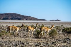 Vicuna Vicugna vicugna or vicugna is wild South American camelid, which live in the high alpine areas of the Andes. Royalty Free Stock Image